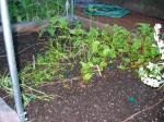 Onions, Carrots, Beets, and just a few bean plants...