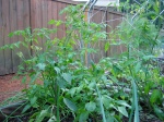 Tomato Plants: Just Flowering